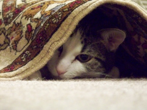 Chichi, expertly hiding under the rug.